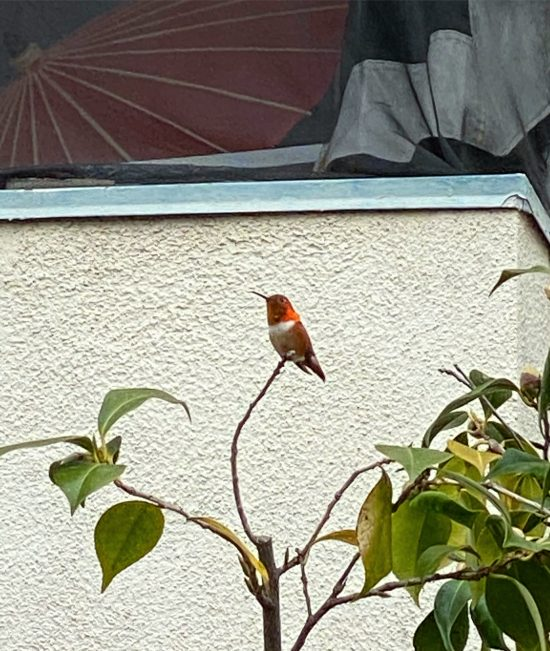 orange hummingbird